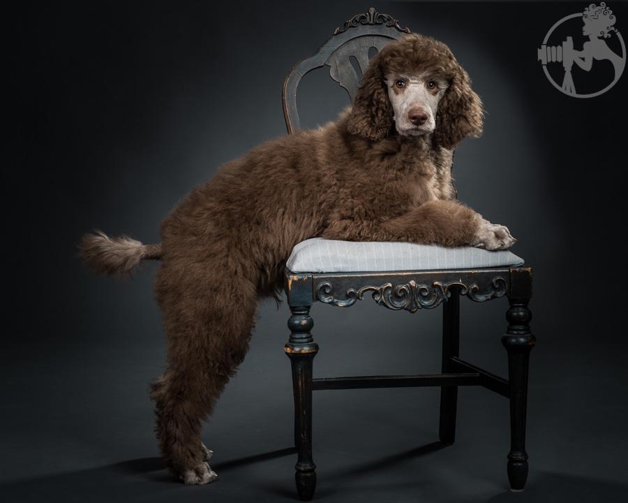 M-Standard-Poodle-Dog-Melissa-Laggis-1.jpg