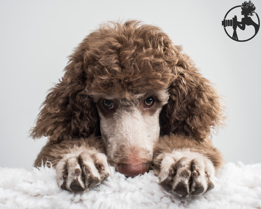 M-Standard-Poodle-Dog-Melissa-Laggis-2.jpg