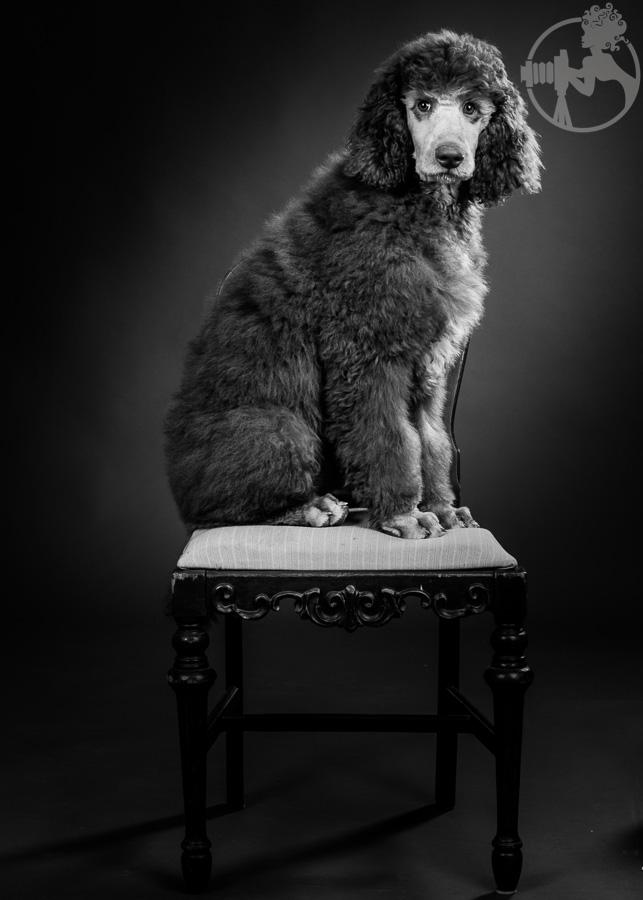 M-Standard-Poodle-Dog-Melissa-Laggis-3.jpg