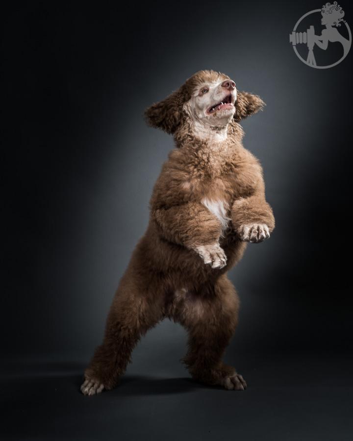 M-Standard-Poodle-Dog-Melissa-Laggis-5.jpg