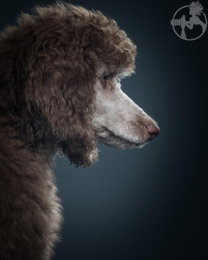 M-Standard-Poodle-Dog-Melissa-Laggis-6.jpg