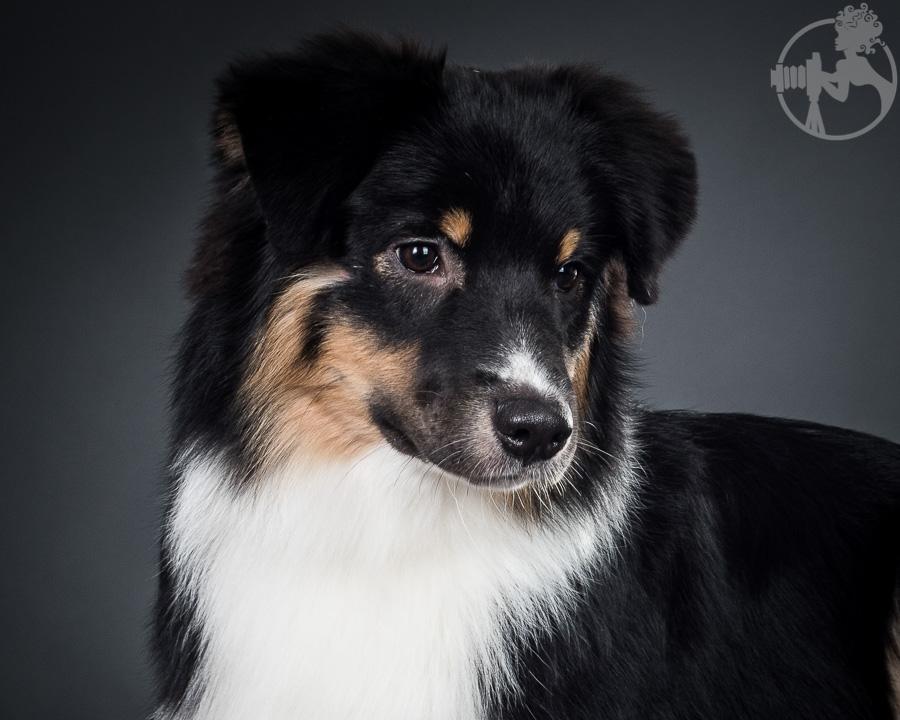 V-Australian-Shepherd-Dog-Melissa-Laggis-2.jpg