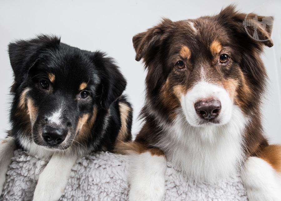 V-Australian-Shepherd-Dog-Melissa-Laggis-1.jpg