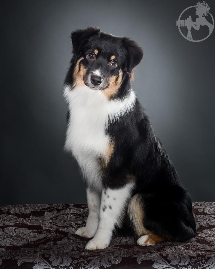 V-Australian-Shepherd-Dog-Melissa-Laggis-3.jpg
