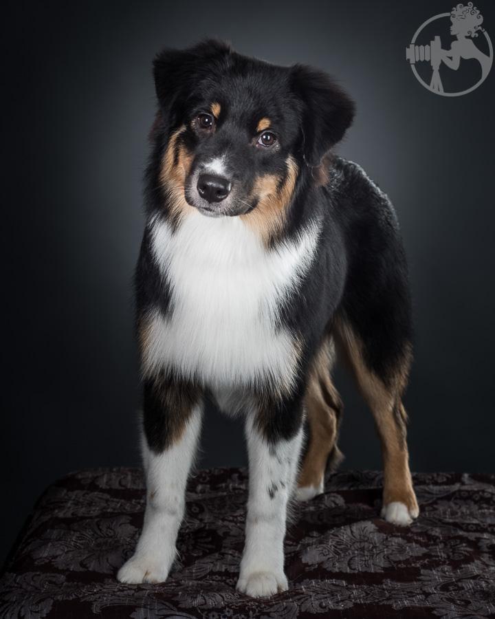 V-Australian-Shepherd-Dog-Melissa-Laggis-4.jpg
