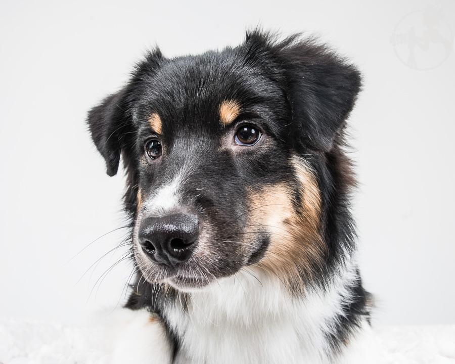 V-Australian-Shepherd-Dog-Melissa-Laggis-5.jpg