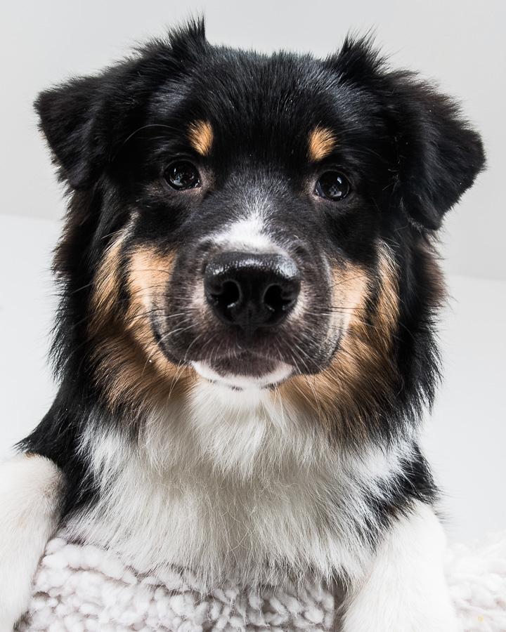 V-Australian-Shepherd-Dog-Melissa-Laggis-6.jpg