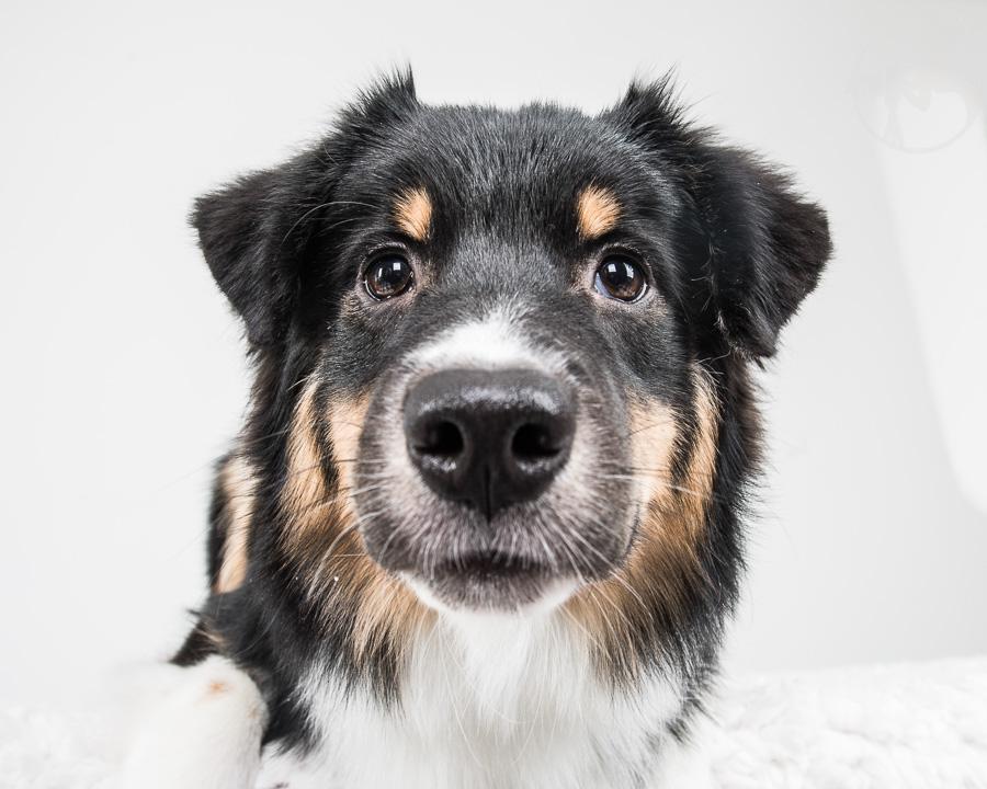 V-Australian-Shepherd-Dog-Melissa-Laggis-7.jpg