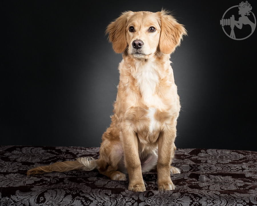 R-Goldendoodle-Dog-Melissa-Laggis-2.jpg