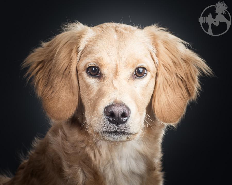 R-Goldendoodle-Dog-Melissa-Laggis-3.jpg