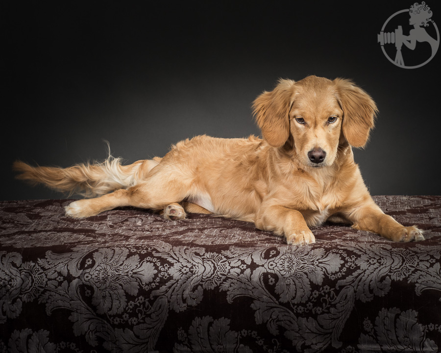 R-Goldendoodle-Dog-Melissa-Laggis-4.jpg