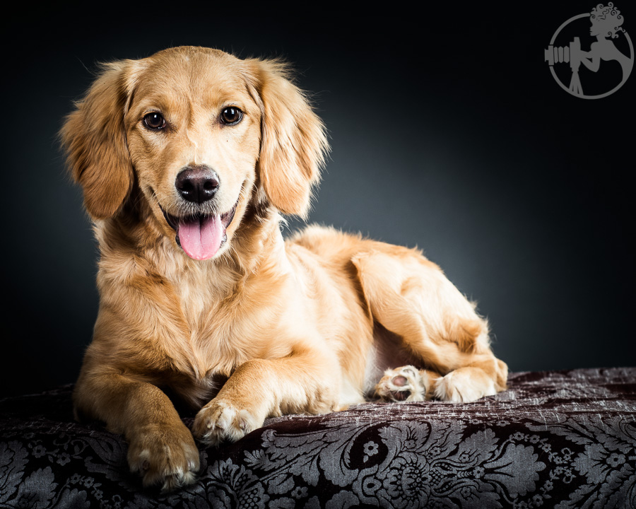 R-Goldendoodle-Dog-Melissa-Laggis-6.jpg