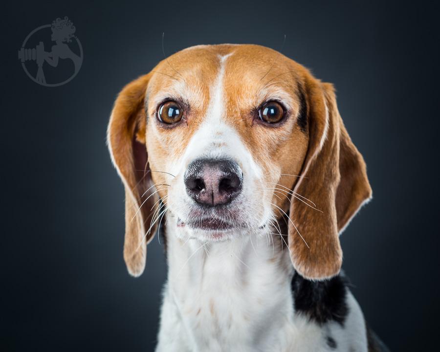 Beagle-Mix-Dog-Melissa-Laggis-6.jpg