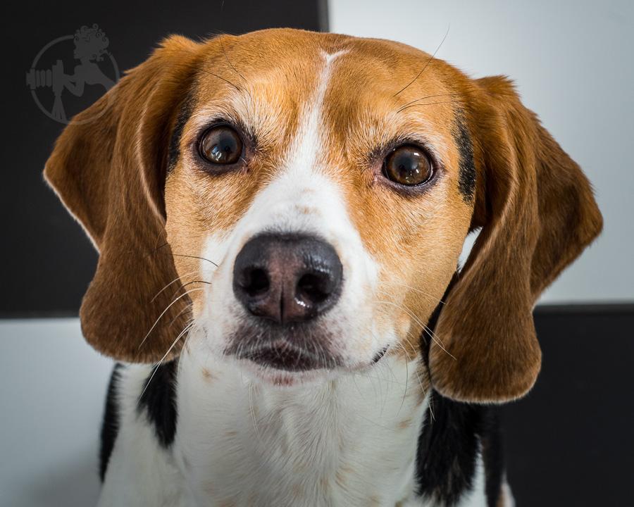 Beagle-Mix-Dog-Melissa-Laggis-8.jpg