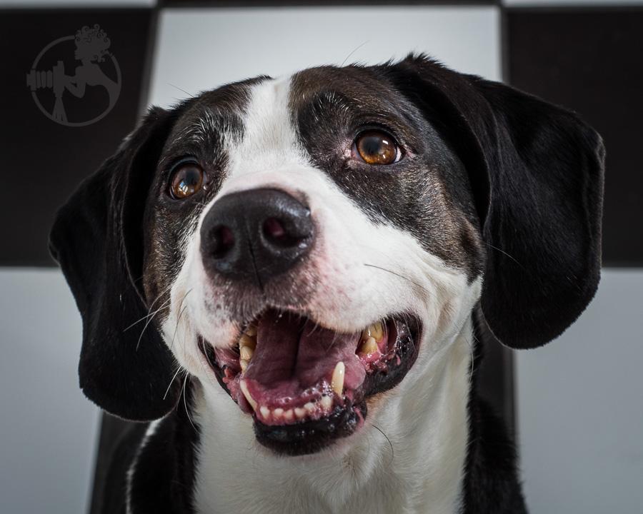 Beagle-Mix-Dog-Melissa-Laggis-9.jpg