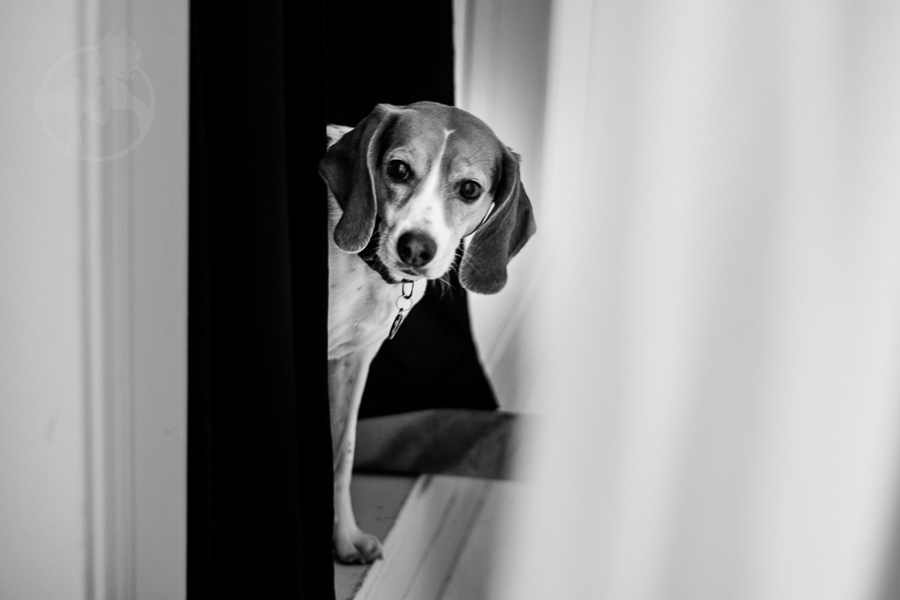 Beagle-Mix-Dog-Melissa-Laggis-10.jpg