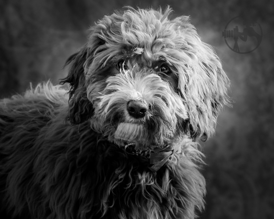 Labradoodle-Dog-Melissa-Laggis-2.jpg