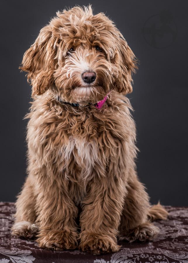 Labradoodle-Dog-Melissa-Laggis-5.jpg