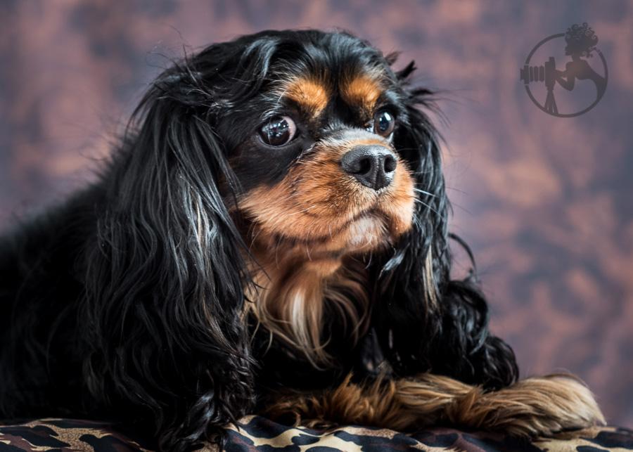 B-Cavalier-King-Charles-Spaniel-Dog-Melissa-Laggis-2.jpg