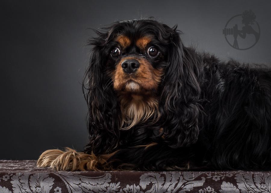 B-Cavalier-King-Charles-Spaniel-Dog-Melissa-Laggis-4.jpg