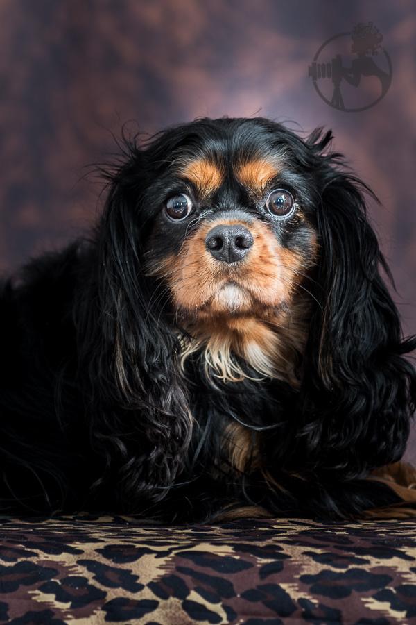 B-Cavalier-King-Charles-Spaniel-Dog-Melissa-Laggis-5.jpg