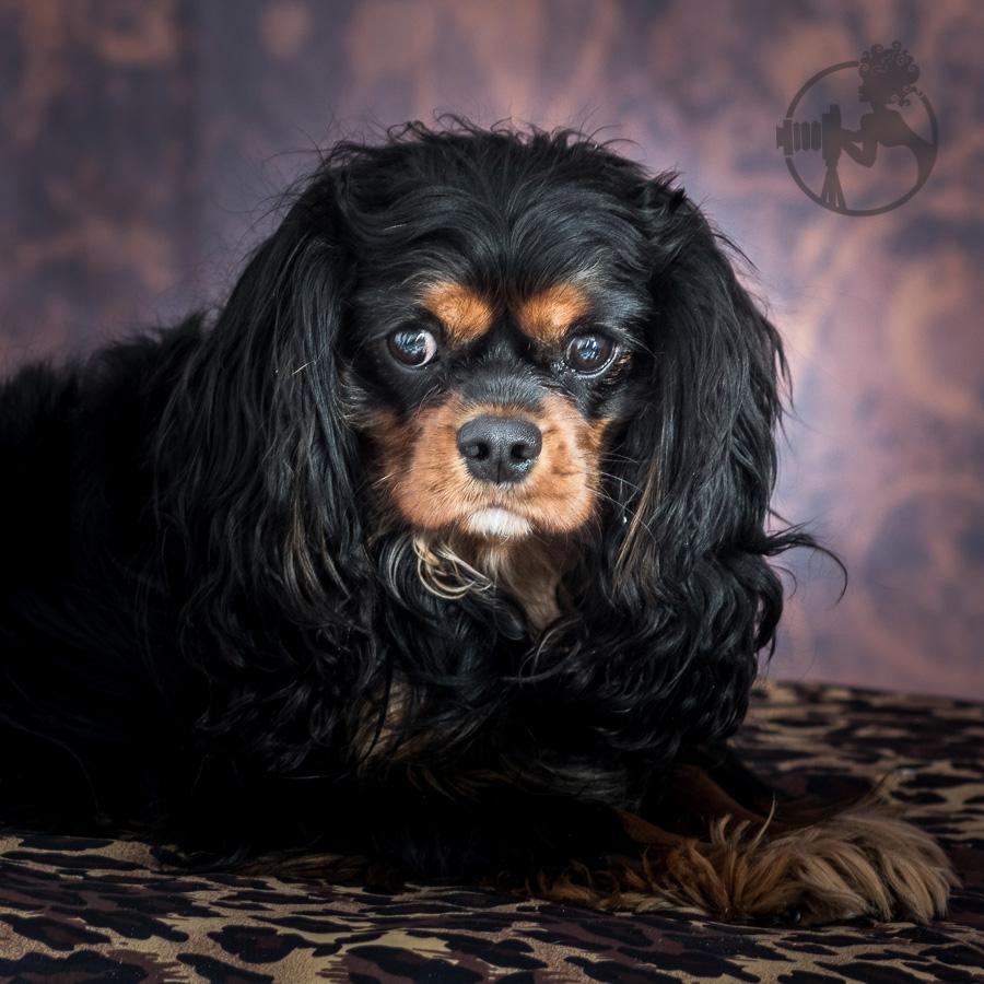B-Cavalier-King-Charles-Spaniel-Dog-Melissa-Laggis.jpg