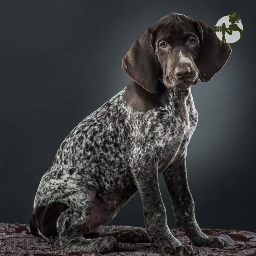 Row-German-Shorthaired-Pointer-Dog-Melissa-Laggis-13.jpg