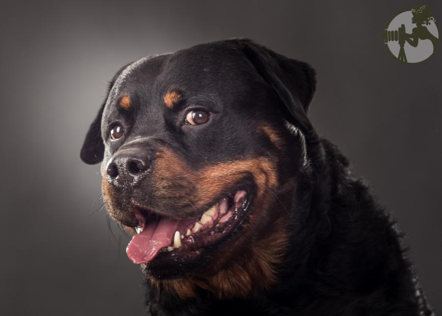 C-Rottweiler-Dog-Melissa-Laggis-2.jpg