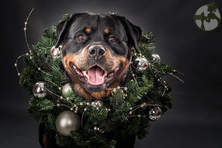 C-Rottweiler-Dog-Melissa-Laggis-1.jpg