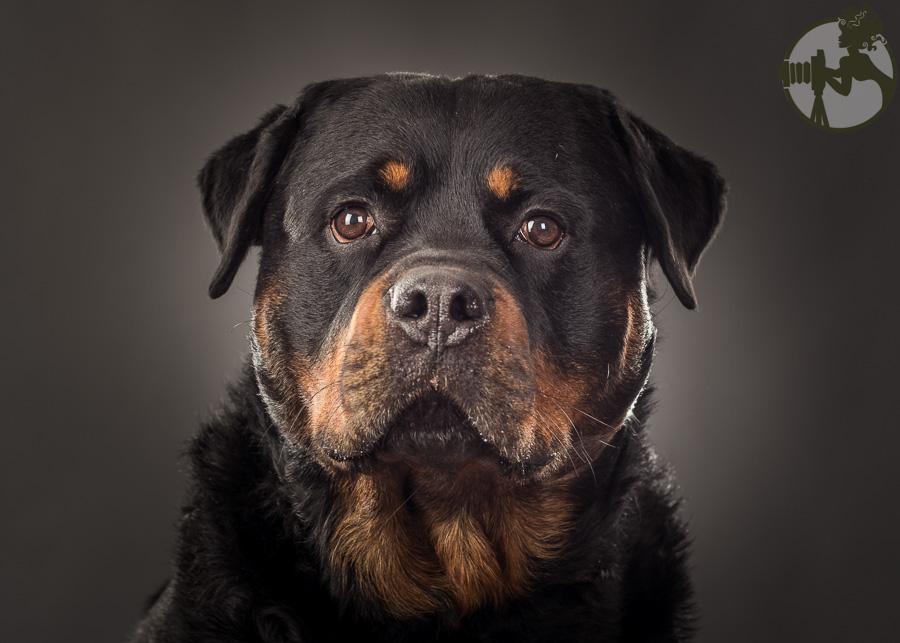 C-Rottweiler-Dog-Melissa-Laggis-3.jpg