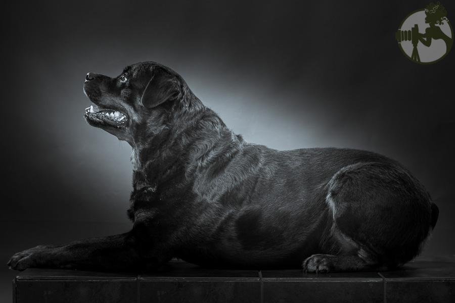 C-Rottweiler-Dog-Melissa-Laggis-4.jpg