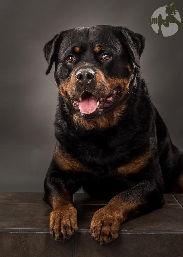 C-Rottweiler-Dog-Melissa-Laggis-5.jpg
