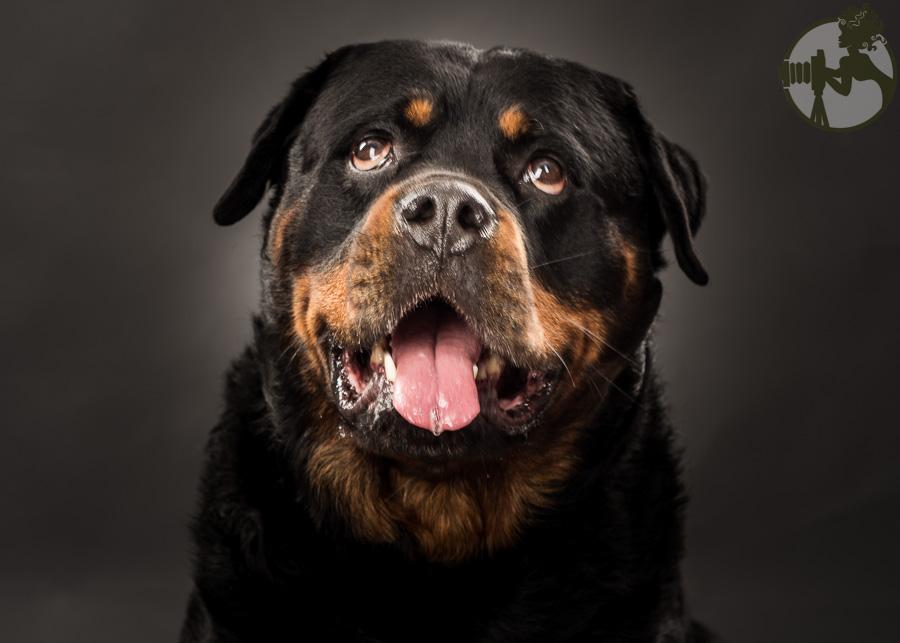 C-Rottweiler-Dog-Melissa-Laggis-6.jpg