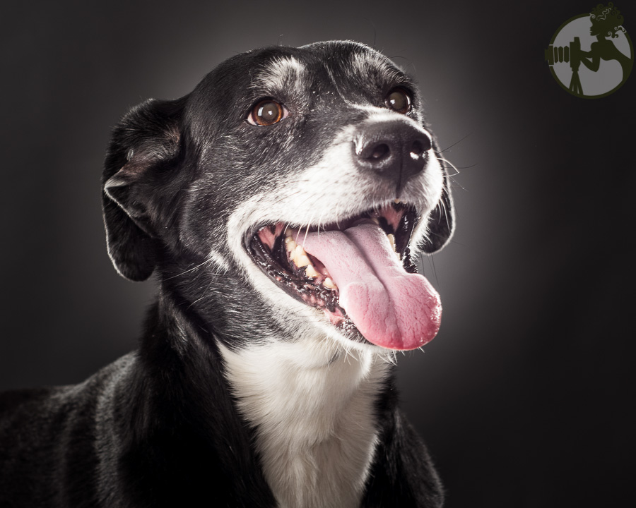 W-Poodle-Labrador-Retreiver-Dog-Melissa-Laggis-2.jpg