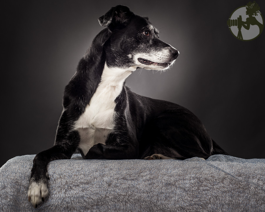 W-Poodle-Labrador-Retreiver-Dog-Melissa-Laggis-3.jpg