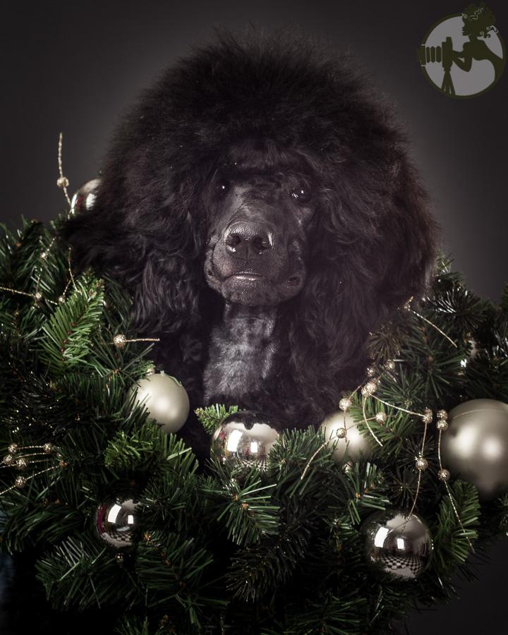 W-Poodle-Labrador-Retreiver-Dog-Melissa-Laggis-6.jpg