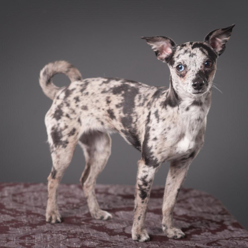 Mo-Pit-Bull-Chihuahua-Dogs-Mel-Laggis-2.jpg