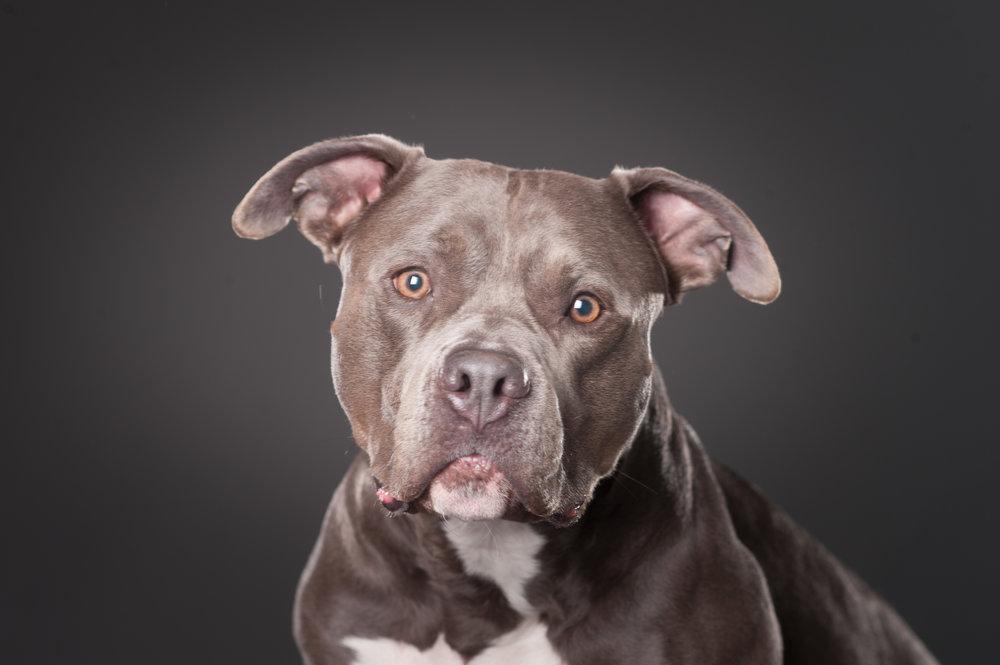 Mo-Pit-Bull-Chihuahua-Dogs-Mel-Laggis-9.jpg