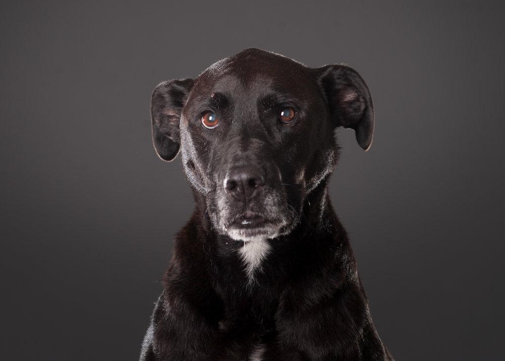 Mo-Pit-Bull-Chihuahua-Dogs-Mel-Laggis-16.jpg