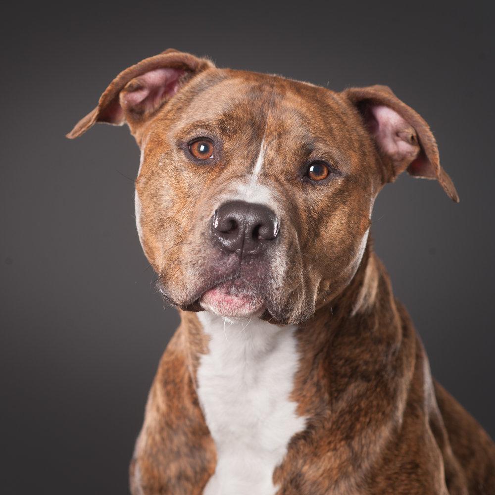 Mo-Pit-Bull-Chihuahua-Dogs-Mel-Laggis-11.jpg