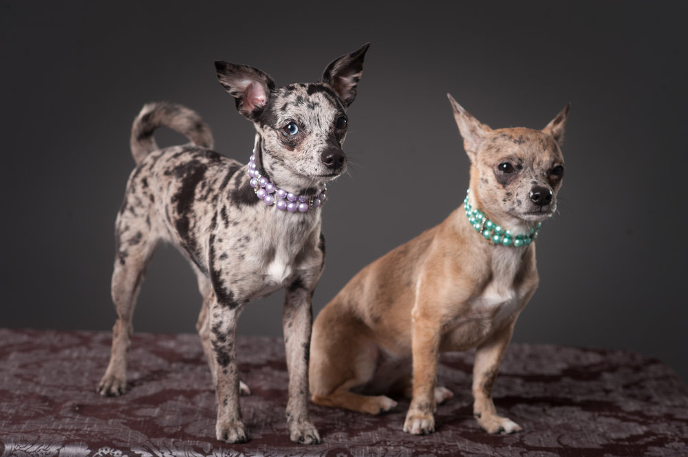 Mo-Pit-Bull-Chihuahua-Dogs-Mel-Laggis-22.jpg