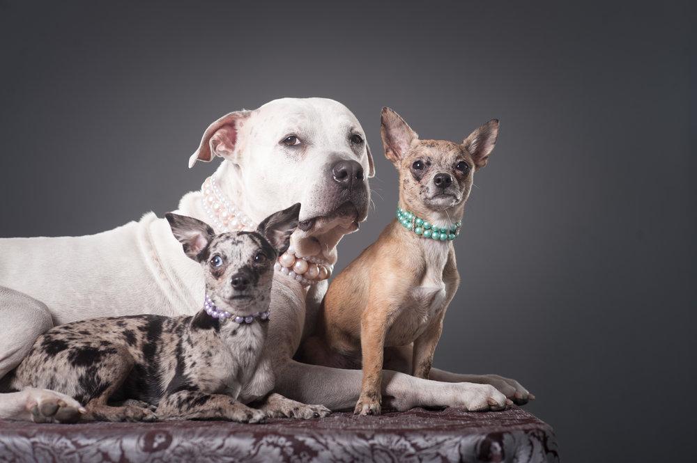 Mo-Pit-Bull-Chihuahua-Dogs-Mel-Laggis-20.jpg