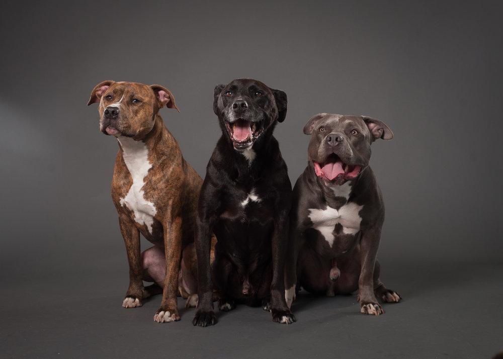 Mo-Pit-Bull-Chihuahua-Dogs-Mel-Laggis-27.jpg