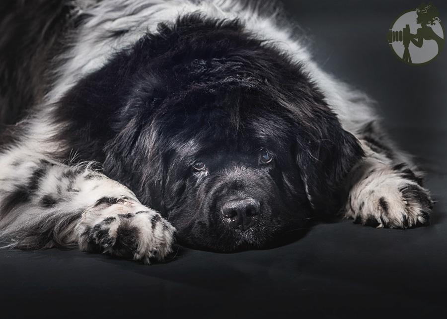 Newfoundland-Dog-Melissa-Laggis-1.jpg