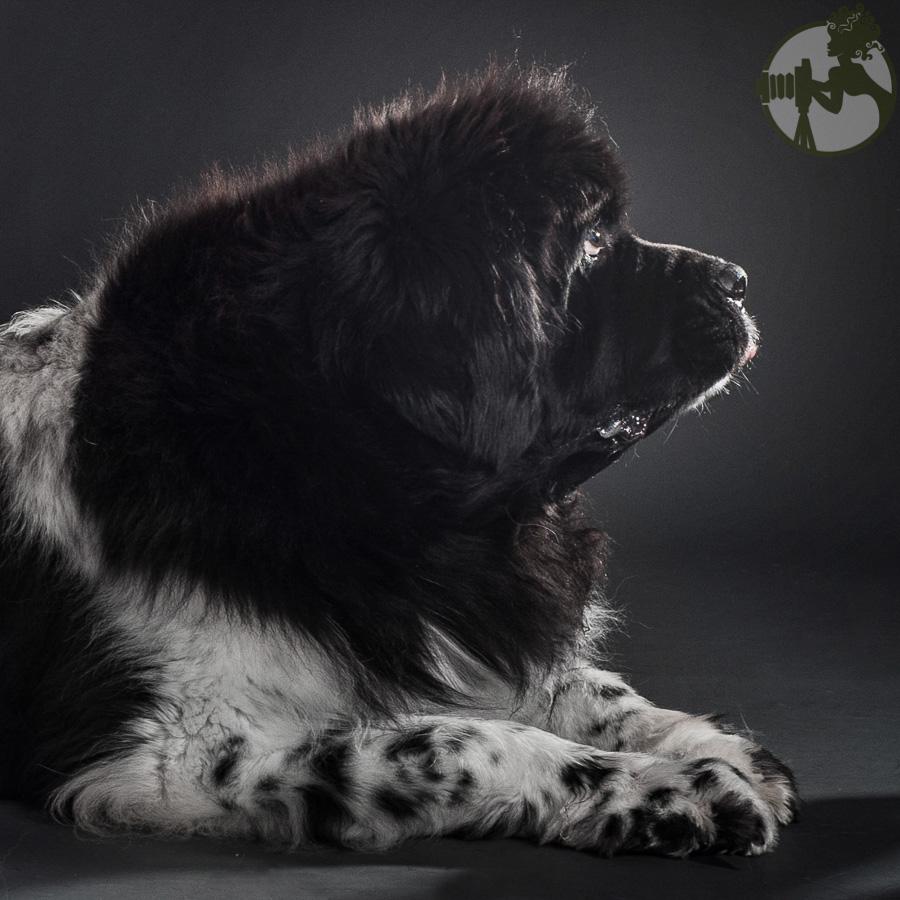 Newfoundland-Dog-Melissa-Laggis-2.jpg