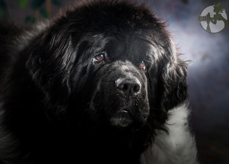 Newfoundland-Dog-Melissa-Laggis-3.jpg