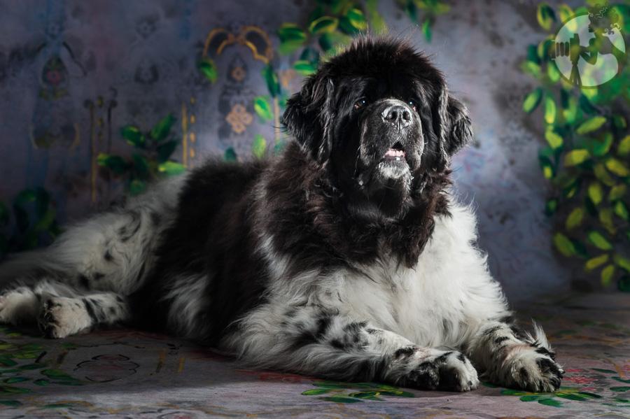 Newfoundland-Dog-Melissa-Laggis-4.jpg