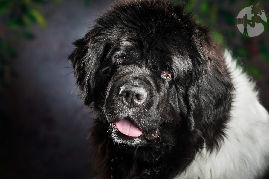 Newfoundland-Dog-Melissa-Laggis-5.jpg