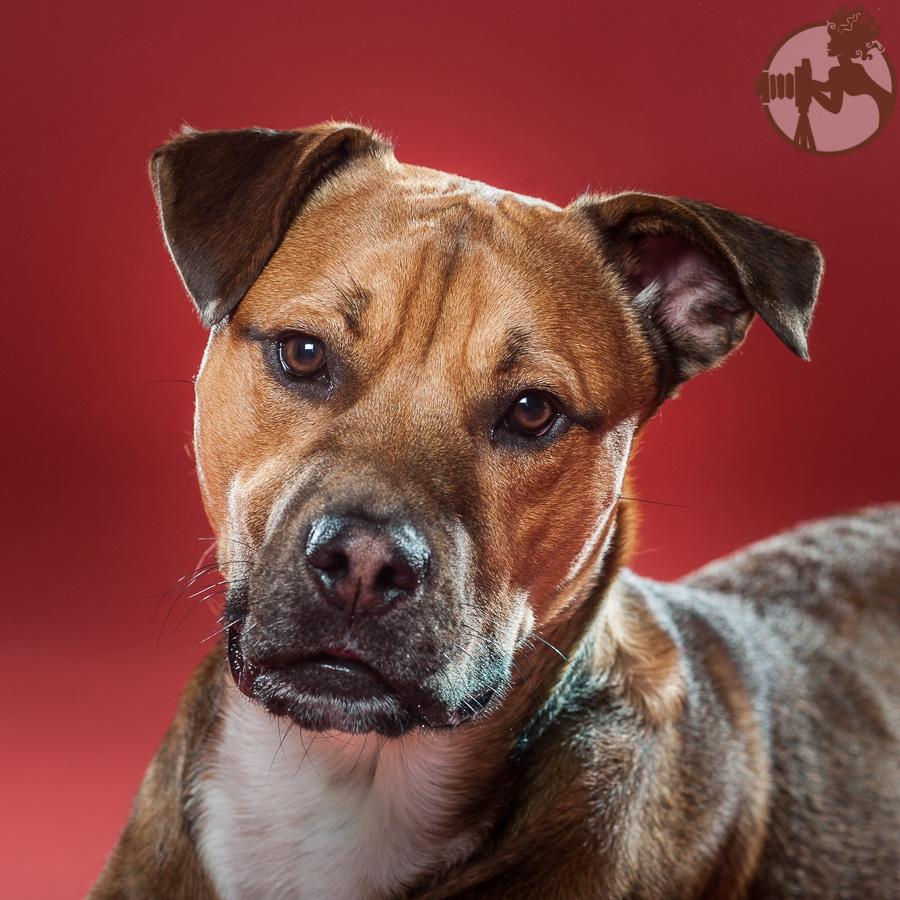 American-Pitbull-Dog-Melissa-Laggis-1.jpg