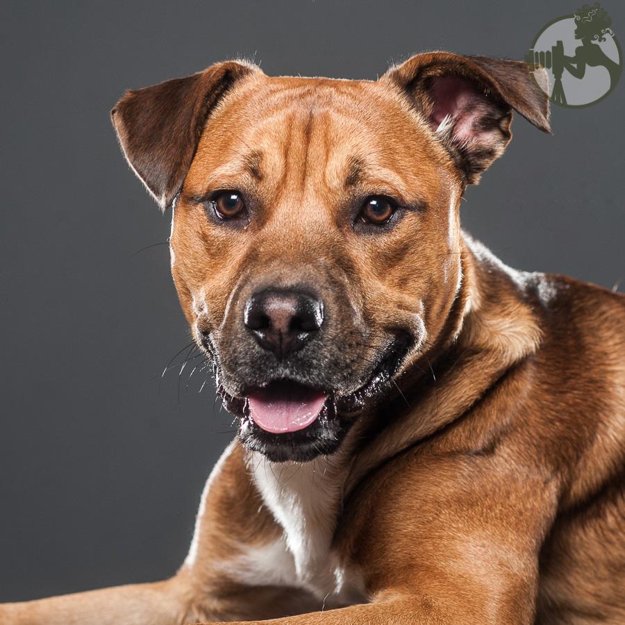 American-Pitbull-Dog-Melissa-Laggis-4.jpg